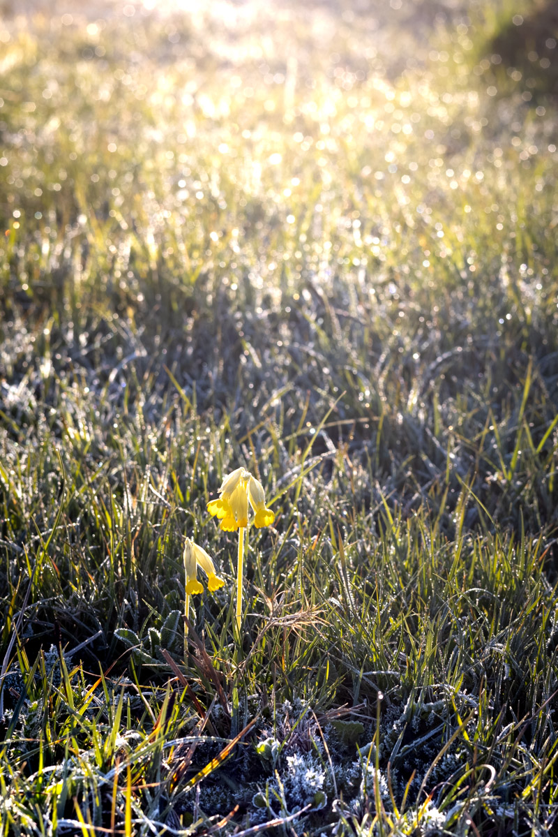 Cowslip - Yarley Fields, Somerset, UK. ID B011694