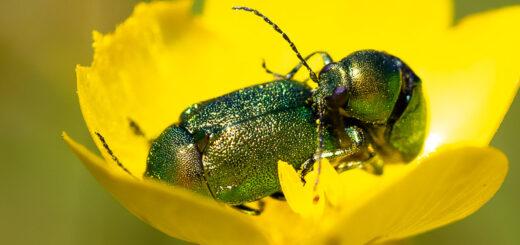 Mint Leaf Beetle (Chrysolina menthastri) - Lynchcombe, Somerset, UK. ID BR57085