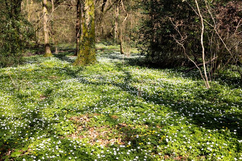 Wood Anemones - Park Wood, Wells, Somerset, UK. ID K2A0659