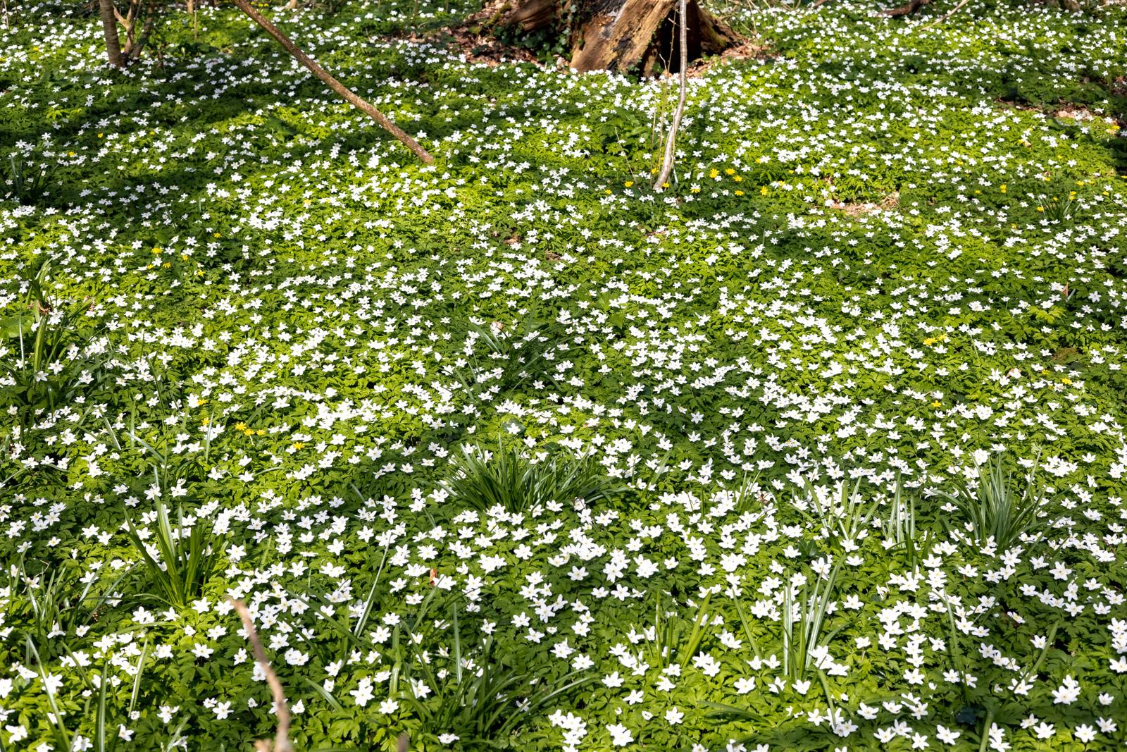 Wood Anemones - Park Wood, Wells, Somerset, UK. ID K2A0680