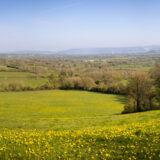 Dandelions - Bagley, Somerset, UK. ID B011968