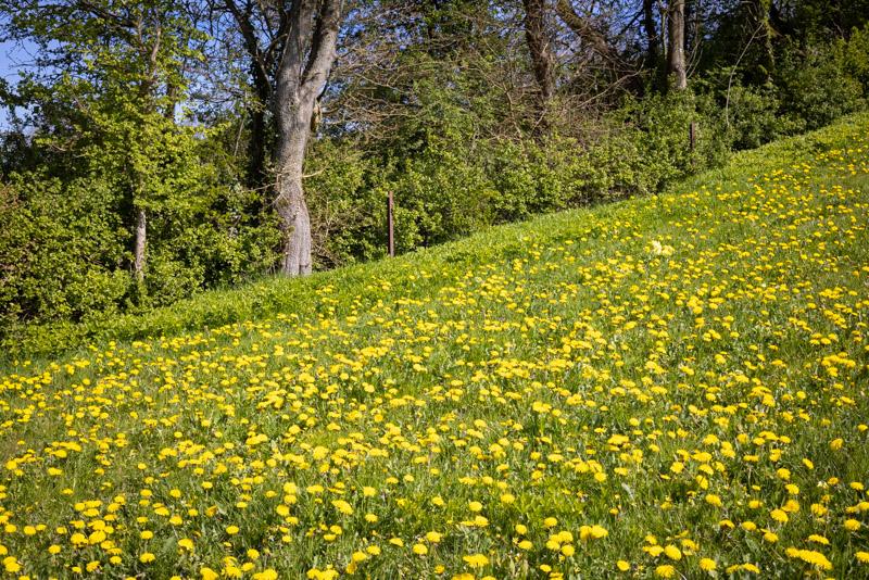 Dandelions - Bagley, Somerset, UK. ID BR52078