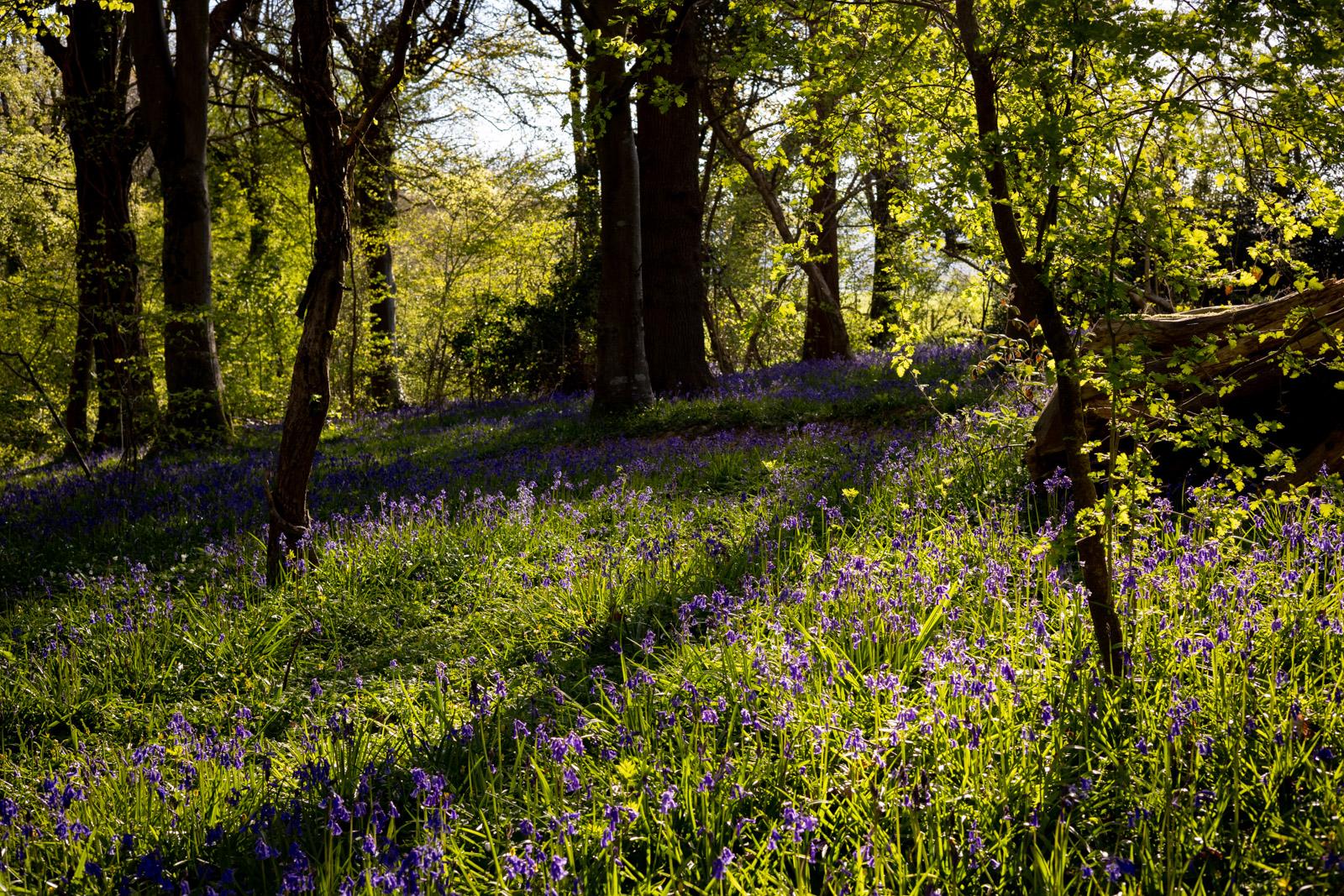 Park Wood Morning - Wells, Somerset, UK. ID BR52204
