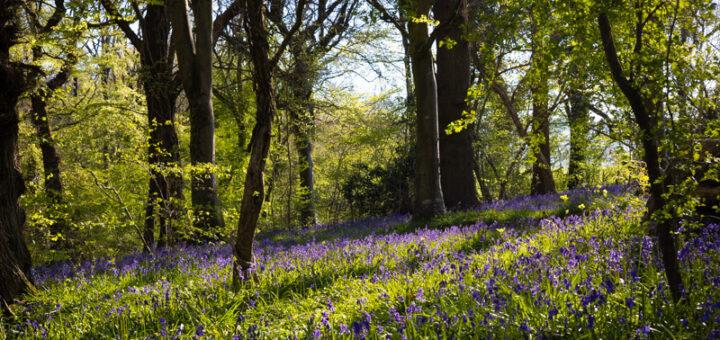 Park Wood Morning - Wells, Somerset, UK. ID BR52284