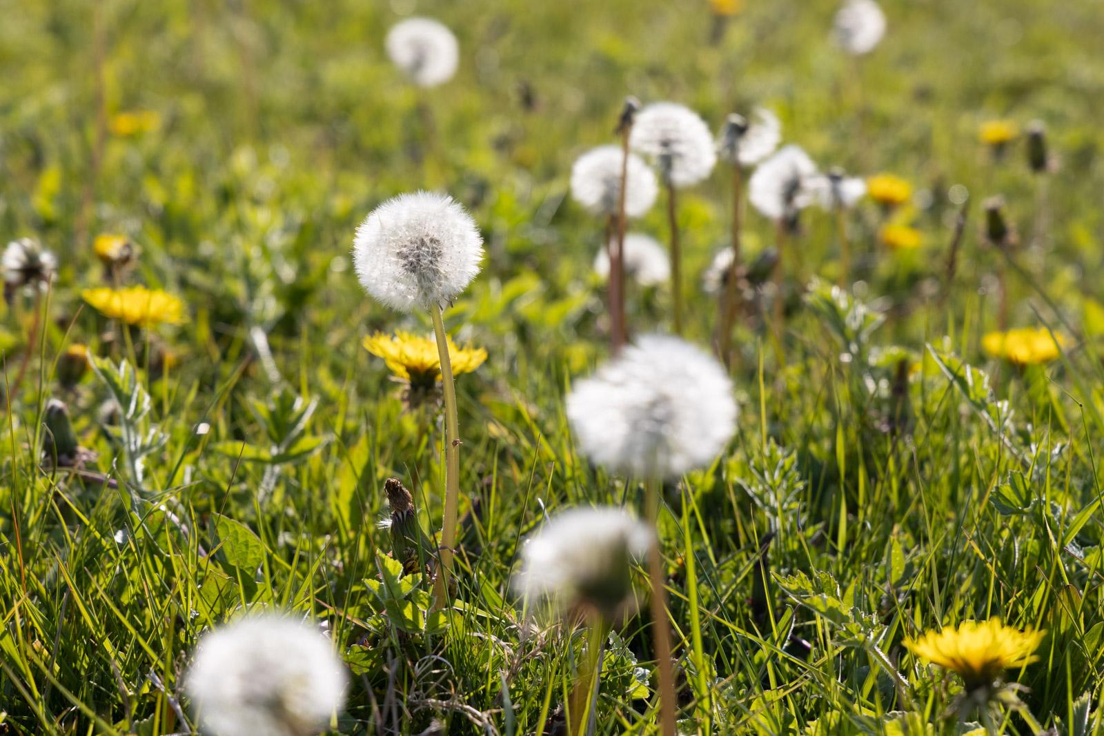 Dandelions - Bagley, Somerset, UK. ID BR53716