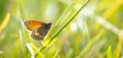 Small Heath (Coenonympha pamphilus) - Cooks Fields, Mendip Hills, Somerset, UK. ID BR50048