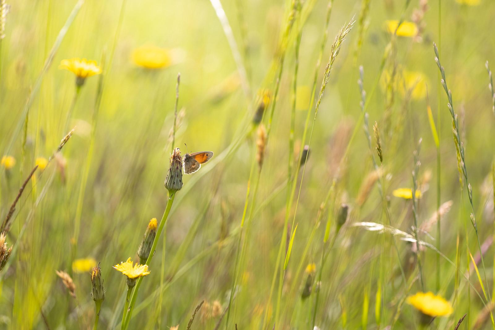 Small Heath (Coenonympha pamphilus) - Cooks Fields, Mendip Hills, Somerset, UK. ID BR50064