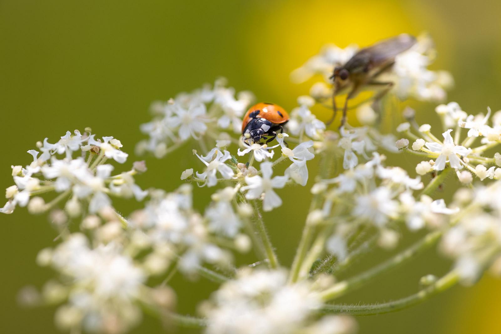 Ladybird - Cooks Fields, Mendip Hills, Somerset, UK. ID BR50071
