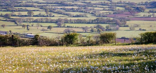 Dandelions Fields - Nr Priddy, Mendip Hills, Somerset, UK. ID BR55676