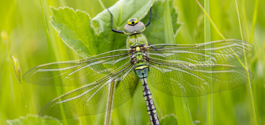 Emperor Dragonfly (Anax imperator) - Bagley, Nr Wedmore, Somerset, UK. ID BR57678