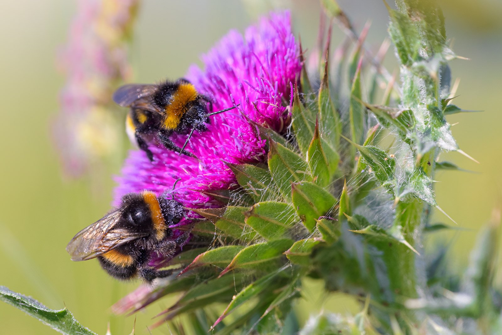 Bumblebee and Thistle - Collard Hill, Nr Street, Somerset, UK. ID BR58797