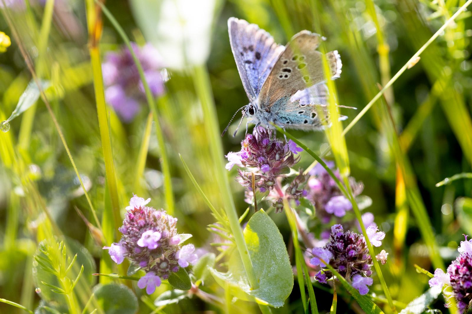 Large Blue (Phengaris arion) - Collard Hill, Nr Street, Somerset, UK. ID BR58941