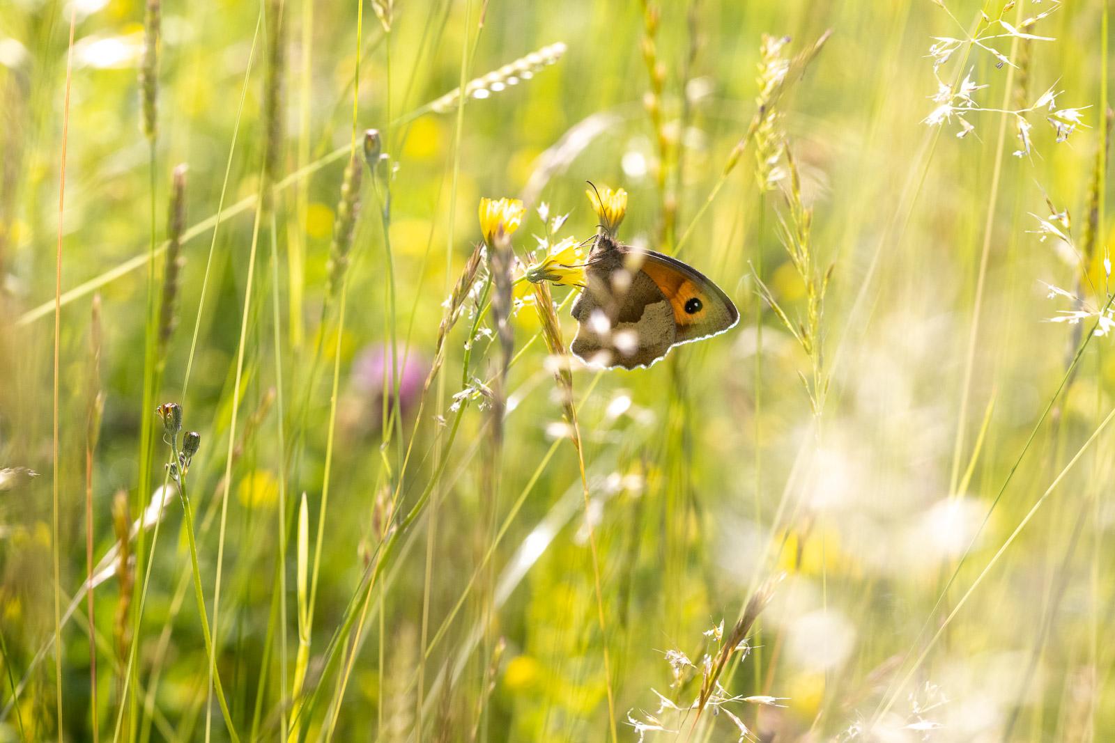 Meadow Brown (Maniola jurtina) - Collard Hill, Nr Street, Somerset, UK. ID BR59192