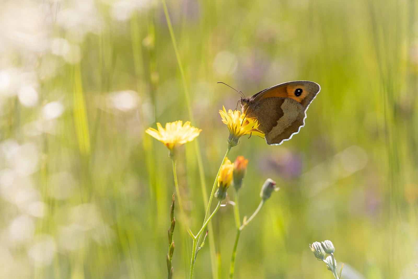 Meadow Brown (Maniola jurtina) - Collard Hill, Nr Street, Somerset, UK. ID BR59223