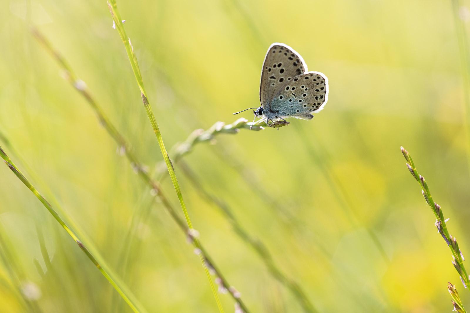 Large Blue (Phengaris arion) - Collard Hill, Nr Street, Somerset, UK. ID BR59266