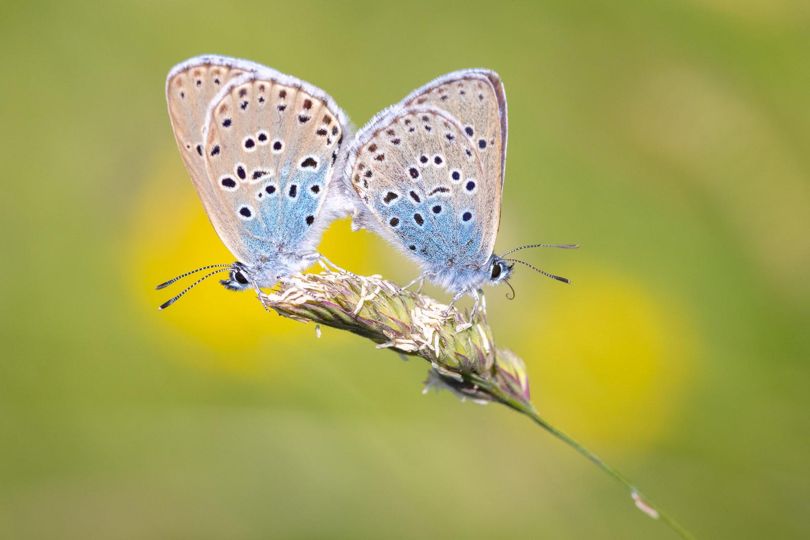 Large Blue (Phengaris arion) - Collard Hill, Nr Street, Somerset, UK. ID BR59460