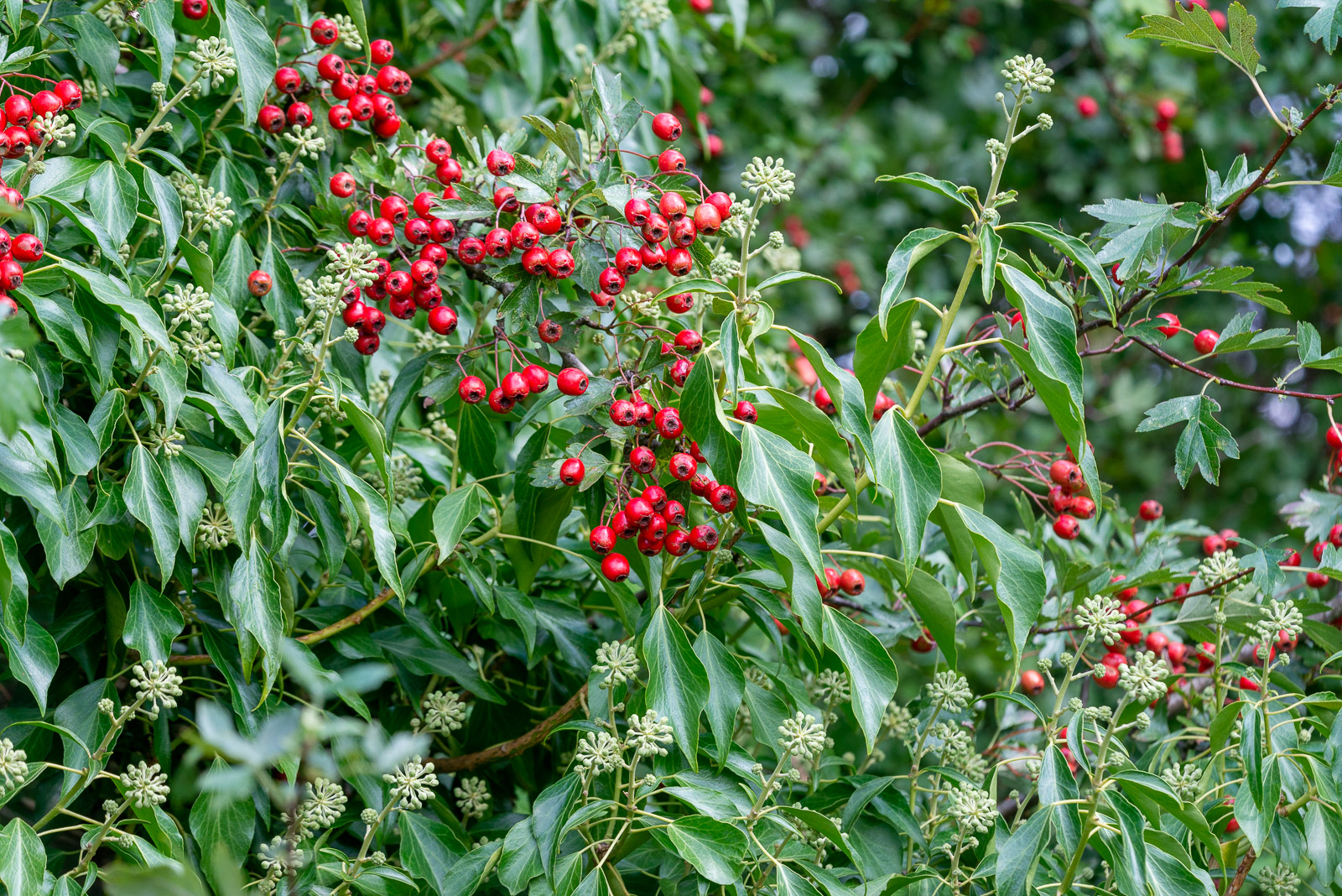 Hawthorn Berries and Ivy Flowers - Lynchcombe, Somerset, UK. ID 825_7574