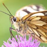 Marbled White (Melanargia galathea) - Lynchcombe, Mendip Hills, Somerset, UK. ID BR50350