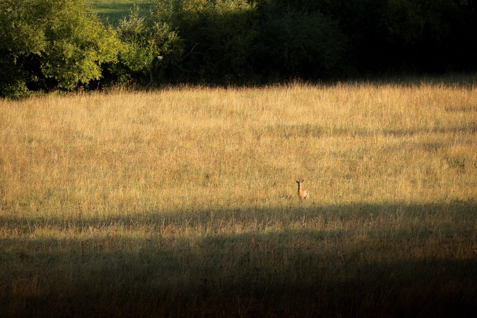 Roe Deer - Bagley, Nr Wedmore, Somerset, UK. ID BR52736