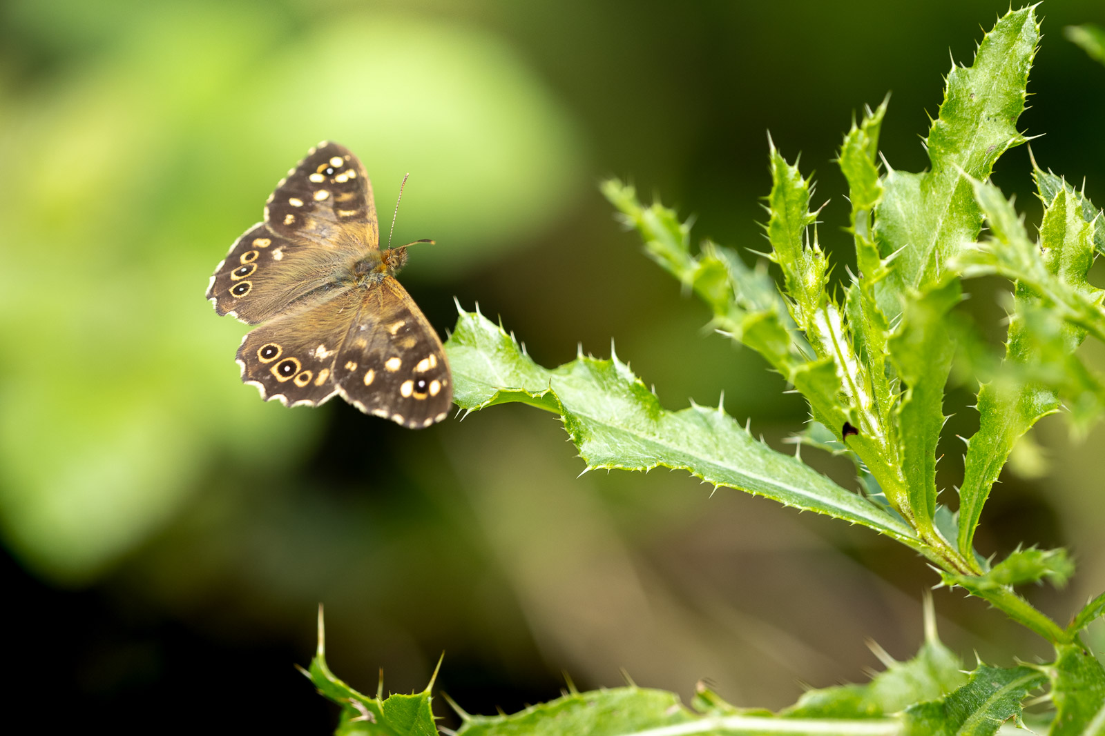 Speckled Wood (Pararge aegeria) - Lynchcombe, Mendip Hills, Somerset, UK. ID BR53699