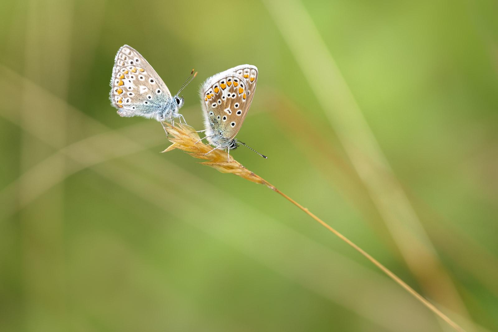 Common Blue (Polyommatus icarus) - Lynchcombe, Mendip Hills, Somerset, UK. ID BR53852