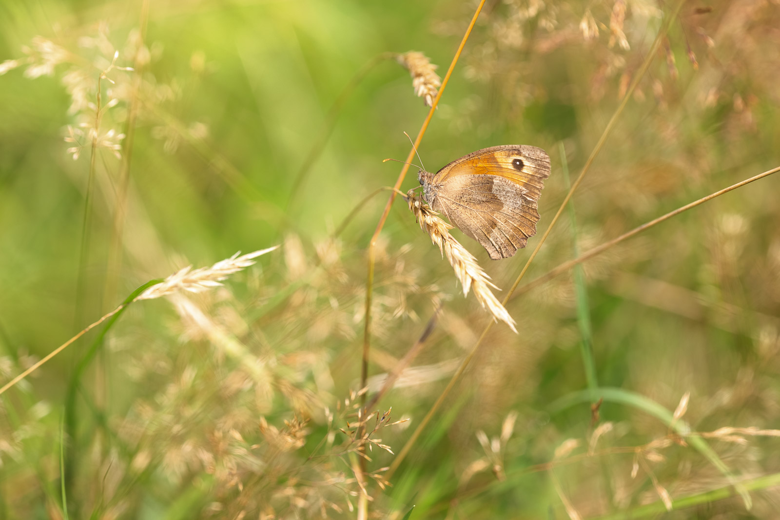 Meadow Brown (Maniola jurtina) - Lynchcombe, Mendip Hills, Somerset, UK. ID BR53953