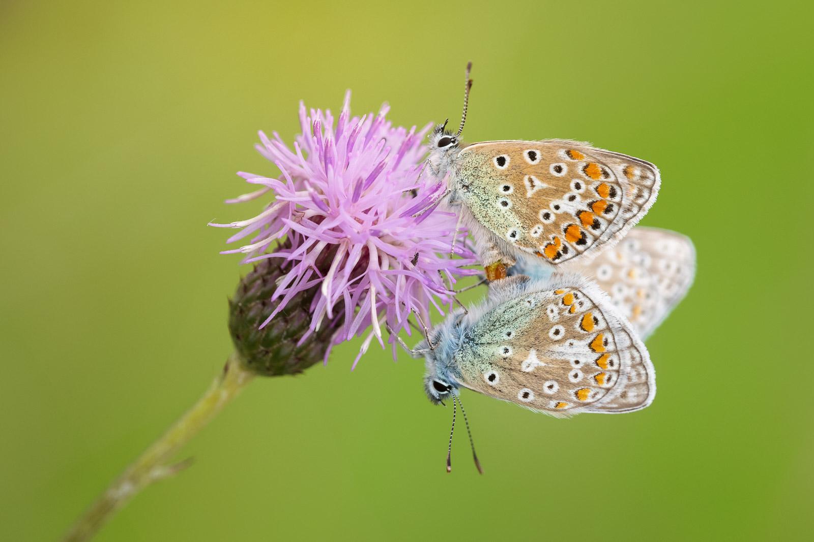 Common Blue (Polyommatus icarus) - Middledown, Mendip Hills, Somerset, UK. ID BR54217