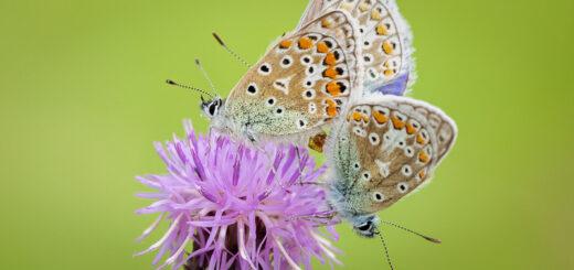 Common Blue (Polyommatus icarus) - Middledown, Mendip Hills, Somerset, UK. ID BR54222