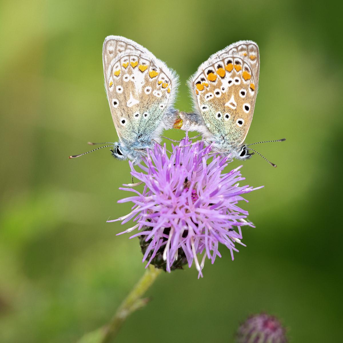 Common Blue (Polyommatus icarus) - Middledown, Mendip Hills, Somerset, UK. ID BR54313