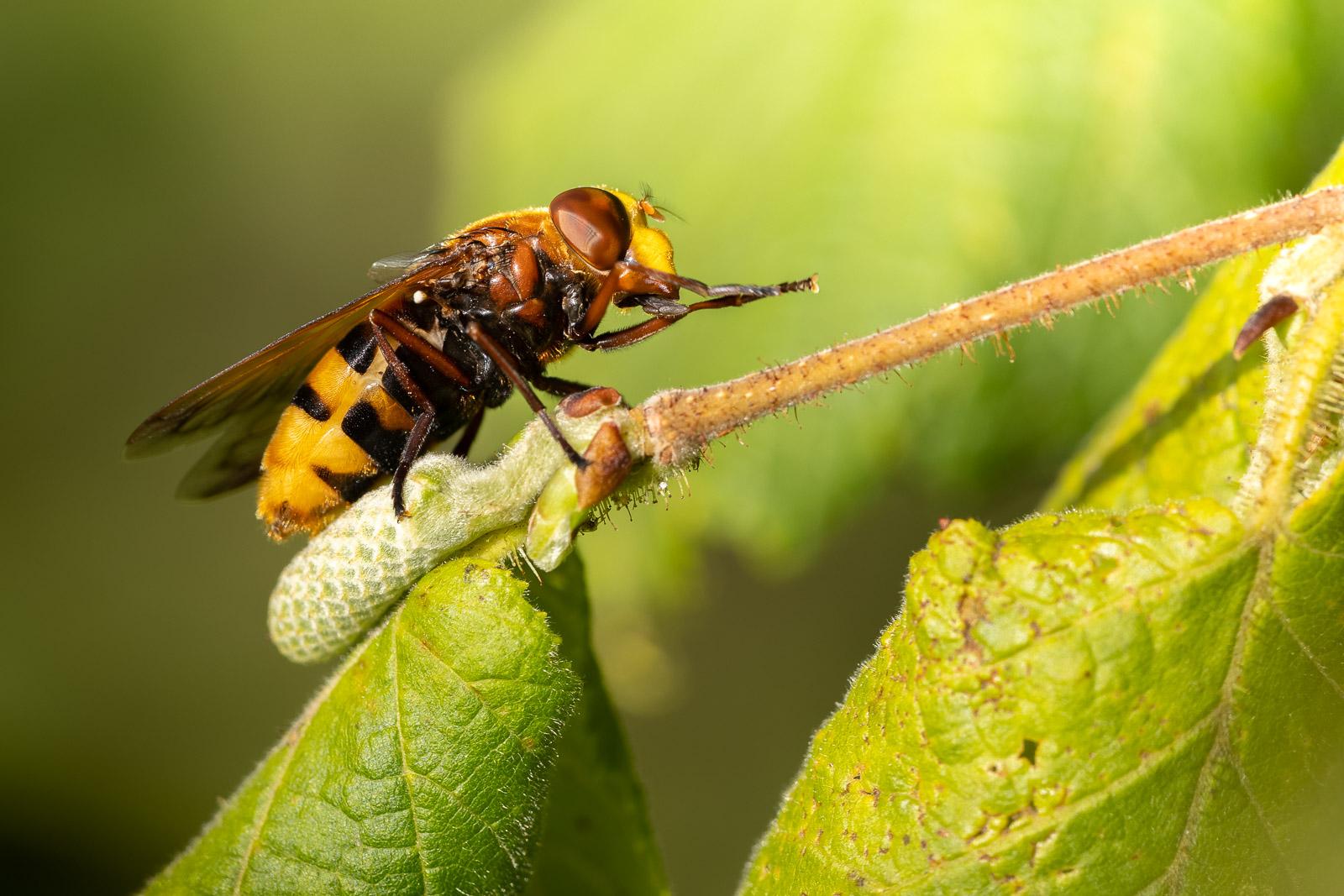 Hornet mimic hoverfly (Volucella zonaria) - Lynchcombe, Mendip Hills, Somerset, UK. ID BR54570