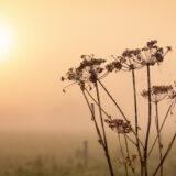 Cow Parsley Seed Heads Silhouette - Queens Sedge Moor, Nr Glastonbury, Somerset, UK. ID BR54695