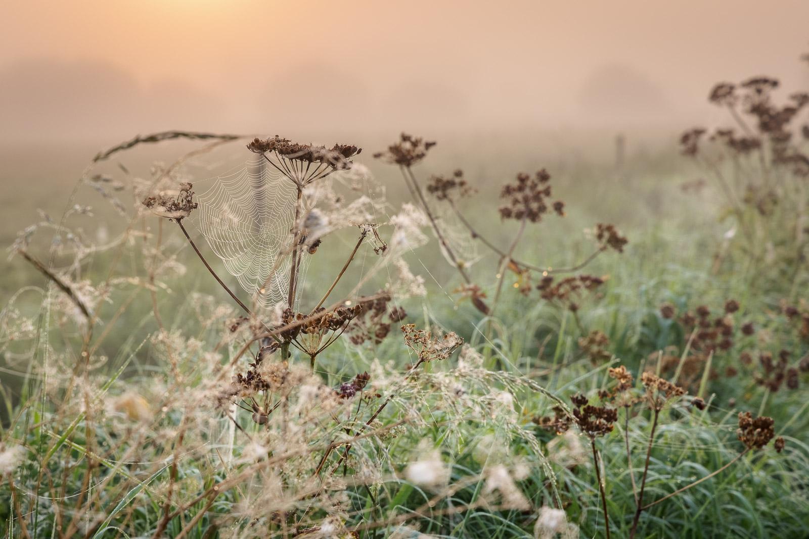 Early morning cobwebs - Queens Sedge Moor, Nr Glastonbury, Somerset, UK. ID BR54720
