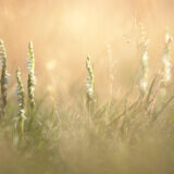 Autumn Ladys-tresses (Spiranthes spiralis) - Mendip Hills, Somerset, UK. ID BR55556