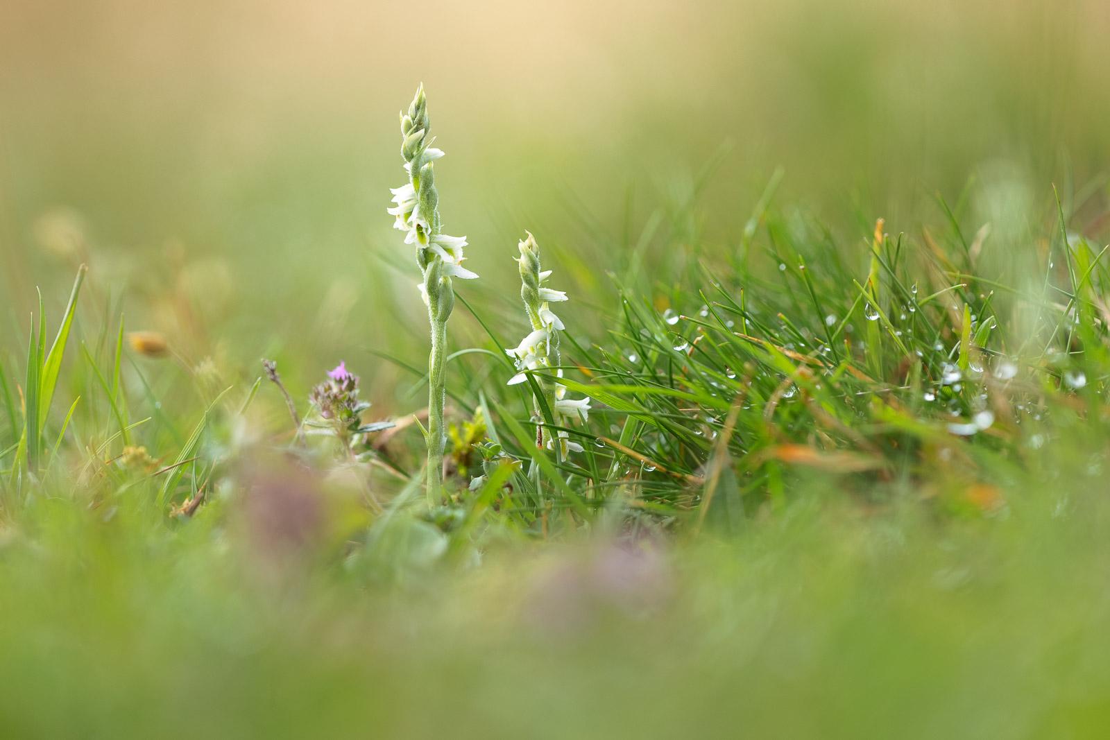 Autumn Ladys-tresses (Spiranthes spiralis) - Mendip Hills, Somerset, UK. ID BR55595