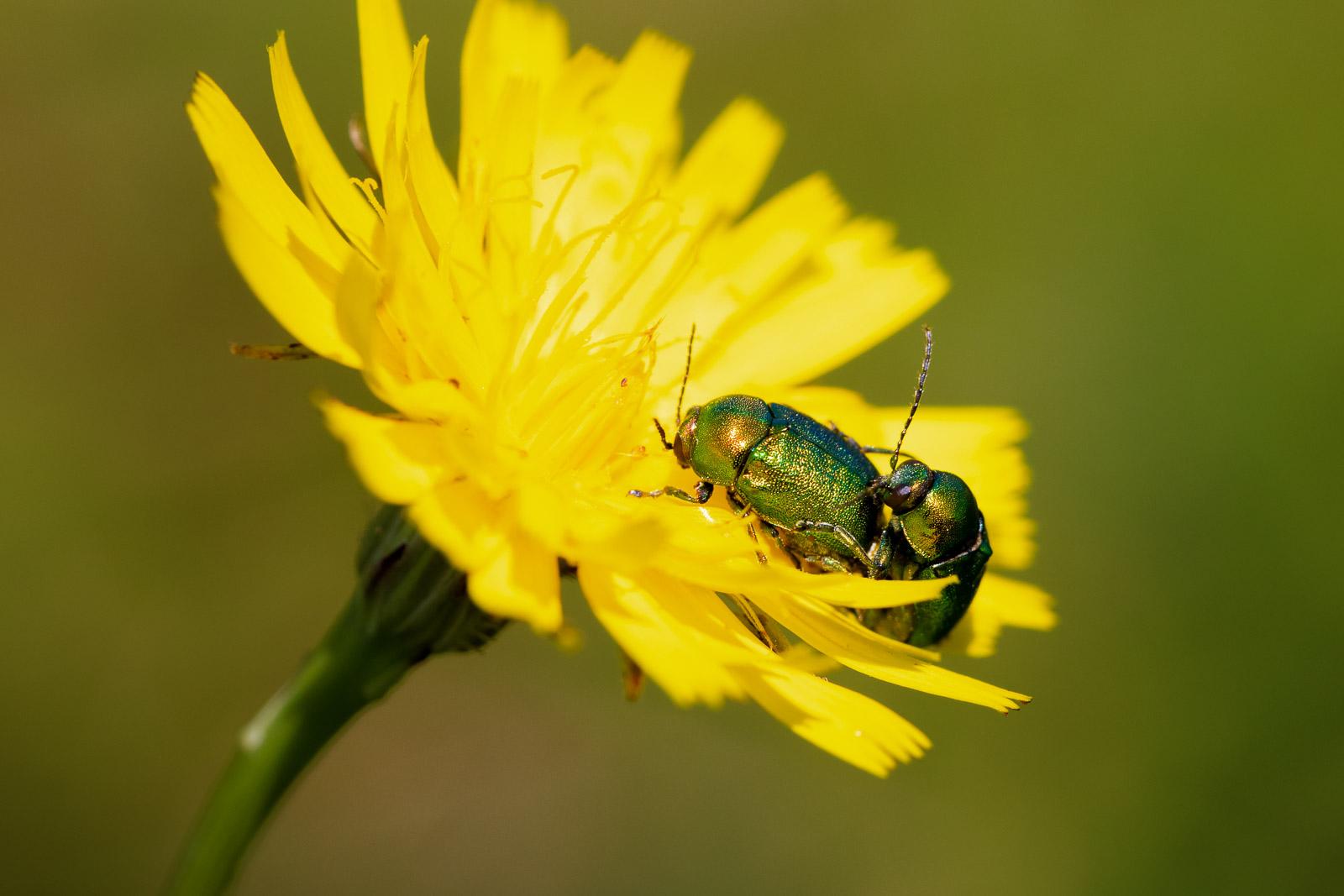 Mint Leaf Beetle (Chrysolina menthastri) - Lynchcombe, Somerset, UK. ID BR59695