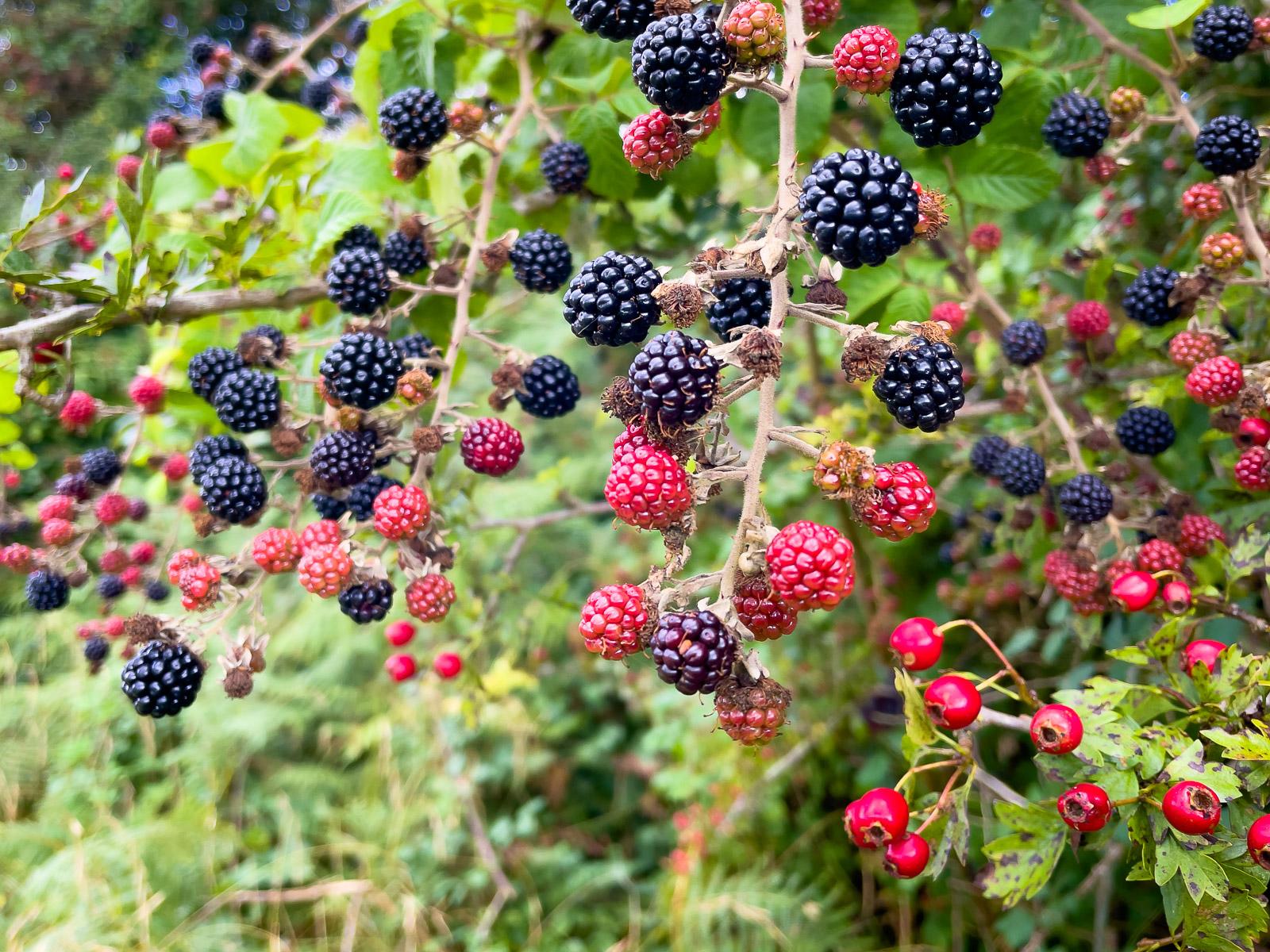 Blackberries - Lynchcombe, Mendip Hills, Somerset, UK. ID IMB_5578