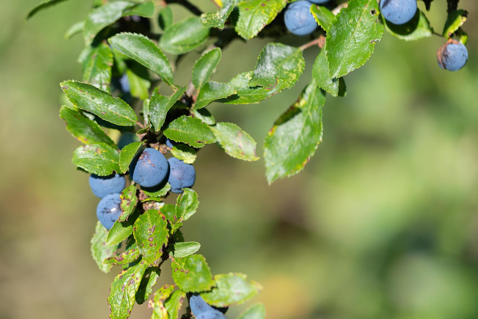 Sloe Berries - Lynchcombe, Somerset, UK. ID JB1_6062