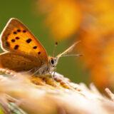 Small Copper (Lycaena phlaeas) - Lynchcombe, Somerset, UK. ID BR55687