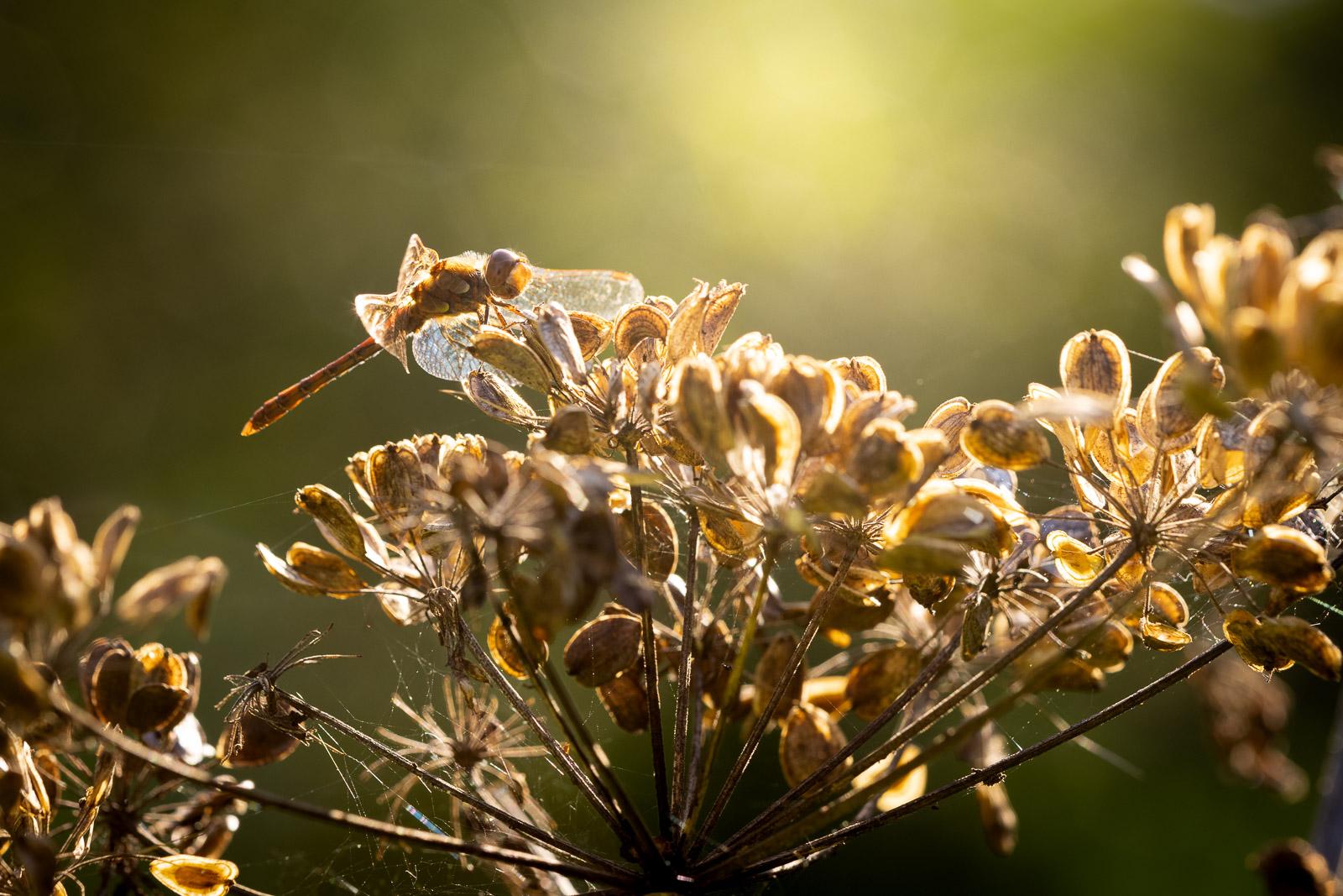 Common Darter (Sympetrum striolatum) on Hogweed - Westhay, Somerset, UK. ID BR56841