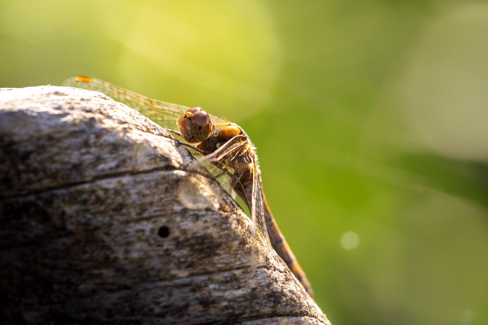Common Darter (Sympetrum striolatum) - Westhay Moor, Somerset, UK. ID BR57631