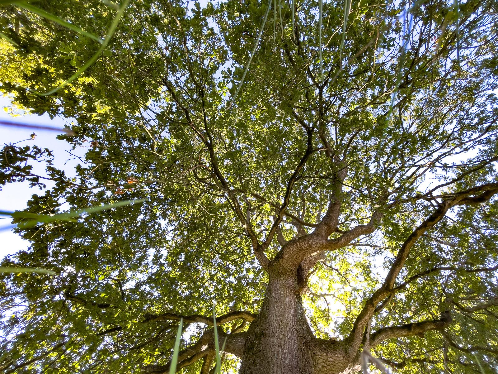 Up the Oak - Westhay Moor, Somerset, UK. ID IMG_5823
