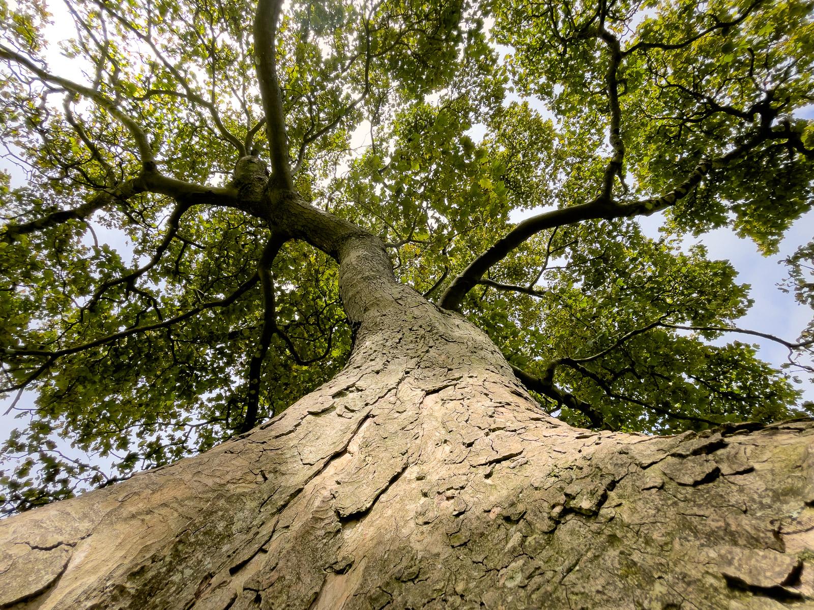 Sycamore Tree - Lynchcombe, Mendip Hills, Somerset, UK. ID IMG_5991